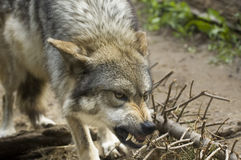 Growling Wolf. A wolf growling and baring its teeth Stock Photos