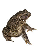 Grown American Toad Stock Photo