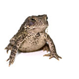 Grown American Toad Stock Image
