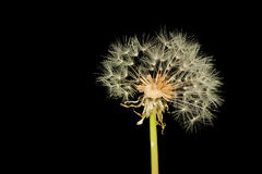 Grown bald dandelion isolated on black background Stock Photos