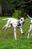 Grown Dalmatian puppy running around and playing in summer Park Royalty Free Stock Images