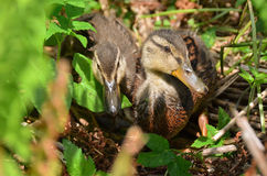 Grown ducklings Royalty Free Stock Photography