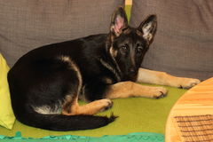 Grown German shepherd puppy. Lying on the couch Stock Images