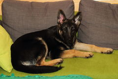 Grown German shepherd puppy. Lying on the couch Royalty Free Stock Photography