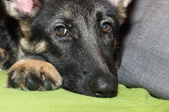Grown German shepherd puppy. Lying on the couch Stock Image