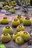 Grown Golden Barrel Cactus in Jardin botanical park, Gran canaria, Spain royalty free stock photos