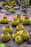 Grown Golden Barrel Cactus in Jardin botanical park, Gran canaria, Spain. Barrel cacti are various members of the two genera Echinocactus and Ferocactus. They royalty free stock photos