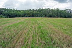 Grown grain on the field, from losses during harvesting by a combine harvester.  stock photos