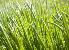 Grown grass. Royalty Free Stock Photos