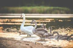Grown mute swans. Near lake at sunset royalty free stock photos