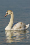 Grown nestling Swan mute lat. Cygnus olor is a bird of the duck family on the water. In the Black sea stock photography