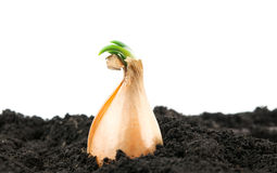 Grown onions Stock Images