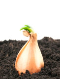 Grown onions Stock Photography