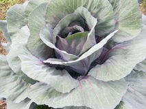 Grown organic violet cabbage on a ridge Royalty Free Stock Image