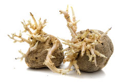 Grown potatoes Royalty Free Stock Photo