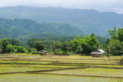 Grown rice field. View of fresh rice field over the mountain range background Stock Images