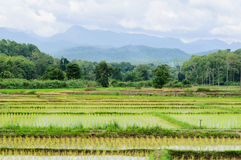 Grown rice field. View of fresh rice field over the mountain range background Royalty Free Stock Photography