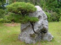 Grown through the rock. A very strange pine tree in a Japanese garden Stock Photo