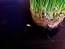 Grown seeds grass Stock Image