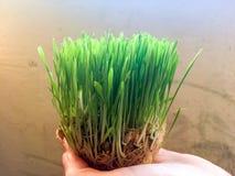 Grown seeds grass Stock Images
