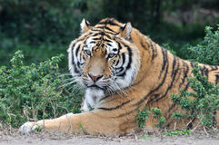 A grown tiger lying in grass. Face of a grown China Northeast tiger is lying Royalty Free Stock Image