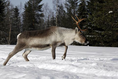 Reindeer / Rangifer tarandus in winter Royalty Free Stock Photos