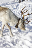Reindeer / Rangifer tarandus in winter Stock Photos