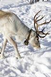 Reindeer / Rangifer tarandus in winter Stock Photos