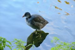 The grown-up baby bird of a bald-coot... stock photos