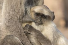 Grown up cub of a gray langur who drinks milk from the breast of. A female Royalty Free Stock Photography