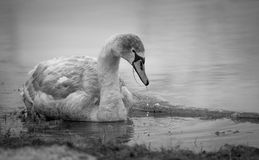 Grown-up cygnet in the river black-and-white image Royalty Free Stock Photography
