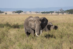 A grown up male elephant protecting its herd Royalty Free Stock Photos