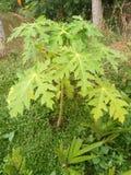Papaya tree. A grown-up papaya tree.That& x27;s really a great look stock photography