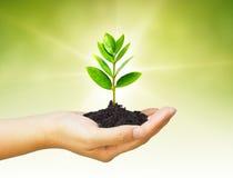 Growng drzewo Zdjęcie Royalty Free