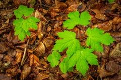 Grownig för två liten sykomor upp i skogen Arkivfoton