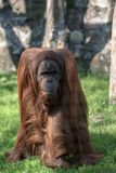 Grownup orangutan Stock Image