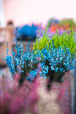 Grows and blooms colorful lavender Stock Image