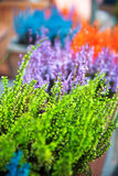 Grows and blooms colorful lavender Royalty Free Stock Images