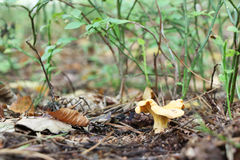 Grows lonely chanterelle Royalty Free Stock Photos