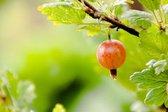 Grows ripe gooseberries on a branch Stock Images