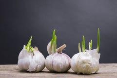 Grows white garlic Royalty Free Stock Images
