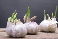 Grows white garlic Stock Photography
