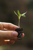 Growth. Tomato seedling ready for planting Stock Images