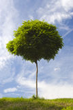Growth. One little tree with blue sky background, symbolizing growth Royalty Free Stock Photos