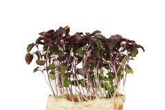 Growth. Fresh alfalfa sprouts isolated against white background stock images