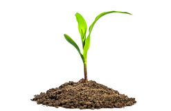 Growth. New small corn plant as growth in business concept Royalty Free Stock Images