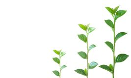 Growth. Tiny to large... three plants on the way up Royalty Free Stock Image