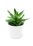 Growth of aloe vera in the flowerpot isolated on white Stock Image