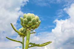 Growth of artichokes on a farm Stock Photos