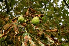 Conkers on a tree in Hertfordshire. royalty free stock photo